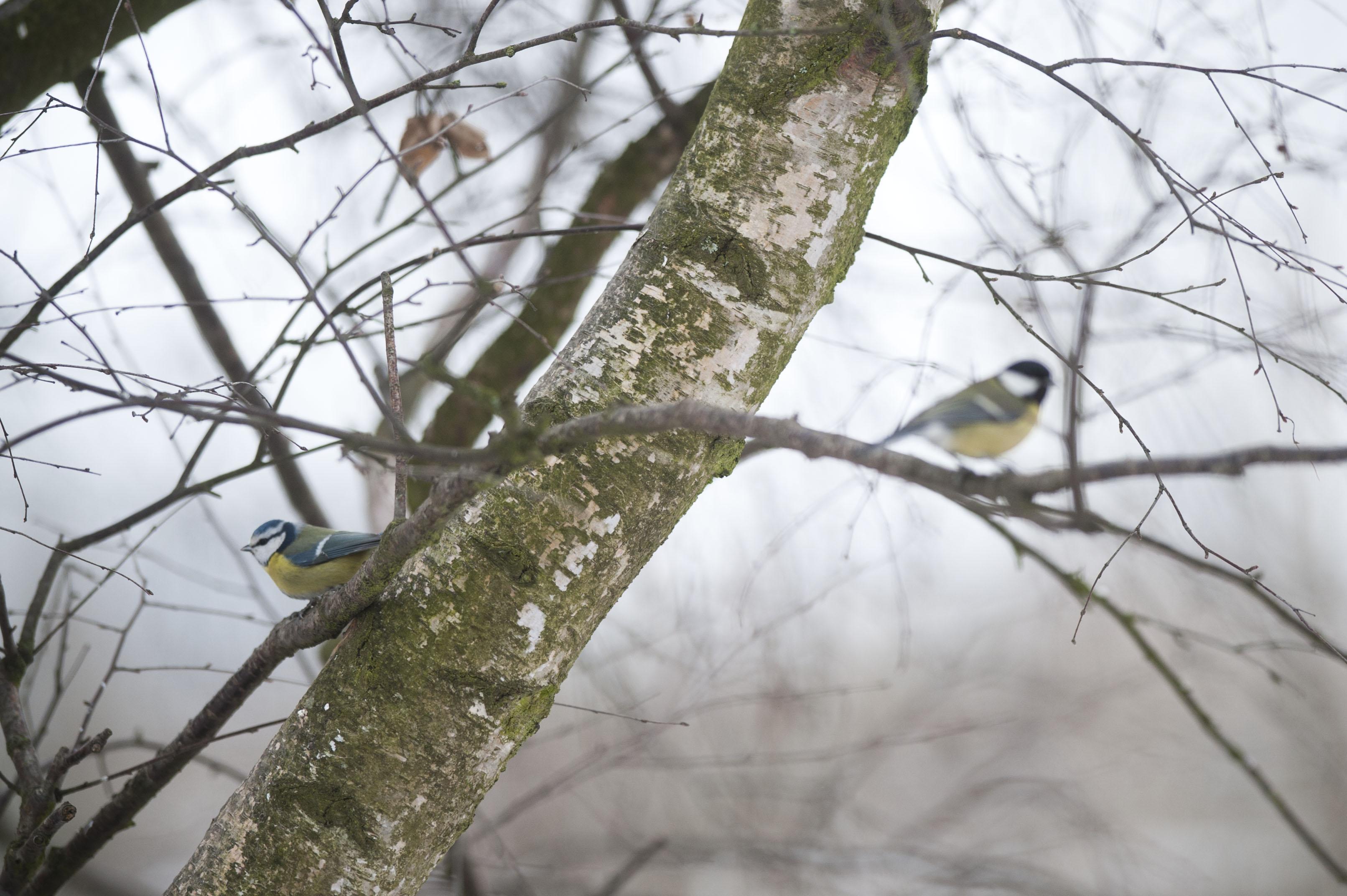 Bild - Tidiga vårfåglar med Hans Cronert
